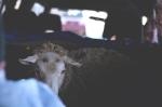 Lamb 7