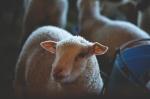 Lamb 9